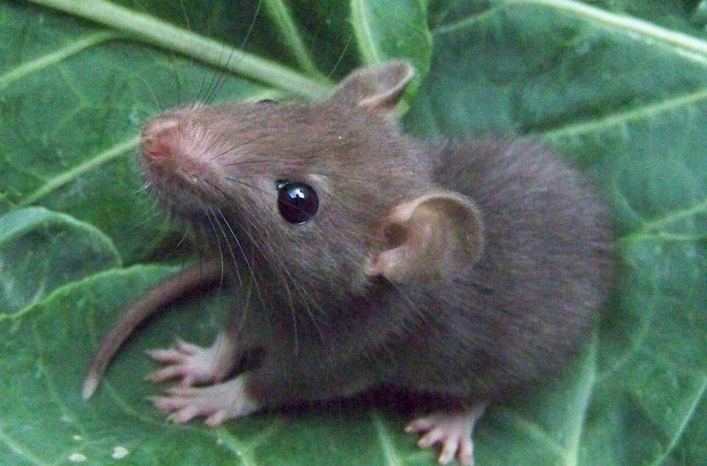 Ökat antal råttor